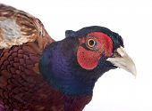 Male European Common Pheasant