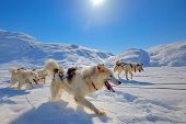 stock photo of sled dog  - Sled dogs on the pack ice of Greenland - JPG