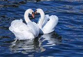 White swans mating.