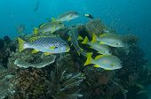 stock photo of raja  - Goldstriped Sweetlips  - JPG