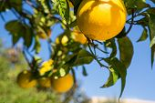 picture of tangerine-tree  - Orange tree with ripe fruits in sunlight. Horizontal shot