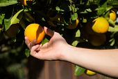 Hand Picking An Orange.