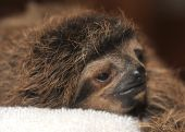 three toed sloth baby, costa rica