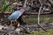 Green Heron (butorides Virescens) Stalking Its Prey