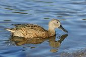 Red Shoveler Duck