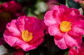 Red Colored Camellia Flower