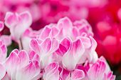 Flowers Of Cyclamen