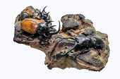 Close-up Photo Of Big Stag-beetle