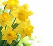 picture of daffodils  - Bouquet of daffodil flower on white background - JPG
