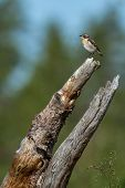 Whinchat Sitting In The Rhizome