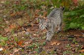 Bobcat Kitten (Lynx rufus) Stalks Along Ground