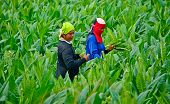 Workers Havest Tobacco Leaves In Thailand