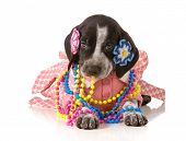 female puppy - german shorthaired pointer puppy dressed up like a girl isolated on white background