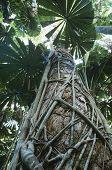 Australia Queensland Fan palms in rainforest