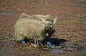 picture of wallow  - Warthog in mud - JPG