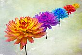 Multi coloured Dahlias
