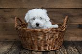 Portrait: Cute Little Baby Dog - Original Coton De Tulear.