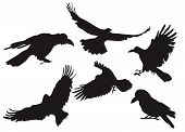 stock photo of caw  - Vector illustration collection of crow silhouette in different flight positions - JPG