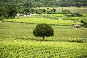 Mango Tree On Vineyards