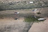 Black-winged Stilt (himantopus Himantopus).