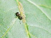 foto of walnut-tree  - ant grazing aphids group on leaf of walnut tree close up