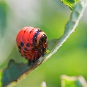 picture of potato bug  - caterpillar of colorado potato beetle eating potatoes leaves close up in garden