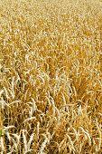 Ears Of Ripe Wheat In Field