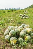 Harvesting Of Ripe Watermelons On Melon Field