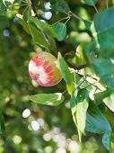 Red Ripe Apple On Green Twig