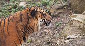 alert Indian tiger