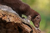 Young Fisher (martes Pennanti) Sniffs Log