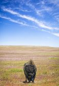 Lone Bison and Sky