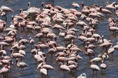 Flock of Flamingo Standing in Water
