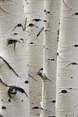 Birch trees in a row, close-up of trunks
