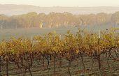 Vineyard in rural landscape, Victoria, Australia