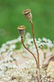 Two Dry Poppy Capsules