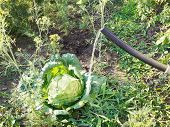 Watering Cabbage From Handshower In Garden