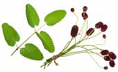 Medicinal plant: Burnet (Sanguisorba officinalis)