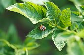 Colorado Potato Beetle Eating Potatoes