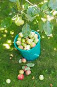 Harvesting In Orchard And Bucket With Apples