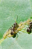 picture of aphid  - two ants pasture aphids group on leaf of walnut tree close up