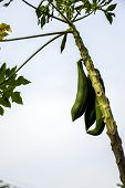 stock photo of papaya  - The big Papaya trees sky green papaya - JPG
