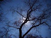 Spider Tree