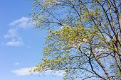 Maple Branches With Spring Leaves