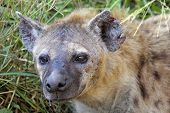 stock photo of hyenas  - Portrait of a spotted hyena Crocuta crocuta - JPG