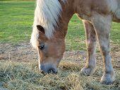 picture of horses eating  - brown horse eating hay  - JPG