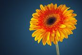 picture of gerbera daisy  - Gerbera daisy flower isolated on blue background - JPG