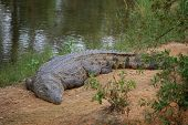 Crocodile on shore, basking in sun