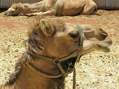 picture of humping  - The facial expression of a camel with one hump in a paddock on a dromedary farm in the desert of Australia - JPG