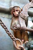 Young rhesus macaque monkey